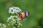 ニラの花にツマグロヒョウモン♀:野々井;クリックすると大きな写真になります。