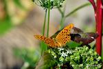 ニラの花にミドリヒョウモン♂:野々井;クリックすると大きな写真になります。