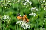 仲良く吸蜜:ツマグロヒョウモンとミドリヒョウモン:野々井;クリックすると大きな写真になります。