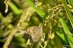 稲穂にヒカゲチョウ:野々井;クリックすると大きな写真になります。