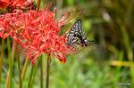 ヒガンバナにアゲハチョウ:野々井;クリックすると大きな写真になります。