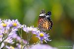 シオンの花にツマグロヒョウモン♀:鉢ヶ峯;クリックすると大きな写真になります。