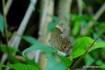 ボロボロのヒカゲチョウ:鉢ヶ峯;クリックすると大きな写真になります。