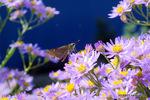 シオンの花にイチモンジセセリ:鉢ヶ峯;クリックすると大きな写真になります。