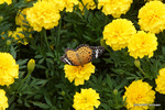 マリーゴルドにツマグロヒョウモン:花の文化園;クリックすると大きな写真になります。