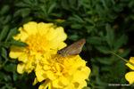 マリーゴルドにコチャバネセセリ:花の文化園;クリックすると大きな写真になります。