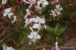 ハクチョウソウ:花の文化園;クリックすると大きな写真になります。