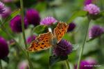 キタテハ開翅:花の文化園;クリックすると大きな写真になります。