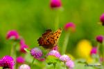千日紅にキタテハ:花の文化園;クリックすると大きな写真になります。