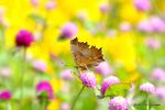 キタテハ閉翅:花の文化園;クリックすると大きな写真になります。