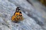 ヒメアカタテハ:大森公園;クリックすると大きな写真になります。