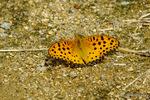 ツマグロヒョウモン♂開翅:檜尾;クリックすると大きな写真になります。
