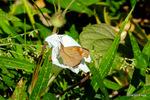 ユウガオにテングチョウ閉翅:大森;クリックすると大きな写真になります。