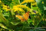 キタテハ開翅:大森;クリックすると大きな写真になります。