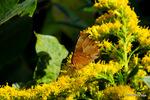 キタテハ閉翅:大森;クリックすると大きな写真になります。