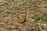 ヒメアカタテハ:野々井;クリックすると大きな写真になります。
