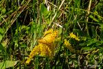 ツマグロヒョウモン♂:野々井;クリックすると大きな写真になります。