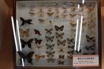 陸山高田市博物館での蝶の被災標本:伊丹市昆虫館;クリックすると大きな写真になります。