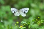 スジグロシロチョウ;クリックすると大きな写真になります