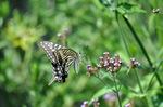アゲハチョウ;クリックすると大きな写真になります