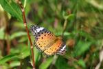 ツマグロヒョウモン♀;クリックすると大きな写真になります