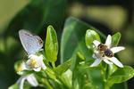 ツバメシジミとミツバチ;クリックすると大きな写真になります
