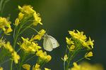 菜の花にモンシロチョウ;クリックすると大きな写真になります