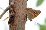 コムラサキとモンスズズメバチ;クリックすると大きな写真になります