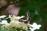 サカハチョウ;クリックすると大きな写真になります