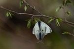 モンシロチョウの交尾;クリックすると大きな写真になります
