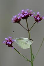 ヤナギハナガサにモンシロチョウ;クリックすると大きな写真になります