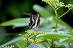ヤブガラシにアオスジアゲハ:野々井;クリックすると大きな写真になります