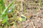 モンキチョウ開翅;クリックすると大きな写真になります