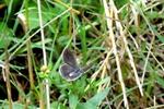 ツバメシジミ:野々井;クリックすると大きな写真になります
