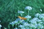ニラの花に留るツマグロヒョウモン♂;和田川;クリックすると大きな写真になります