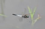 シオカラトンボ飛翔;クリックすると大きな写真になります