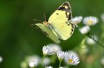 姫女菀にモンキチョウ;クリックすると大きな写真になります