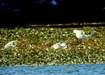 ダイサギの群れ:クリックすると大きな写真になります