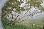 ワタスゲ湿原あたり