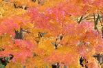鮮やかな紅葉:森林植物園;クリックすると大きな写真になります