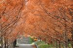 紅葉したメタセコイア並木;クリックすると大きな写真になります