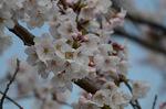 桜は七分咲き;クリックすると大きな写真になります