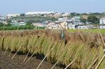 早稲の稲干;クリックすると大きな写真になります
