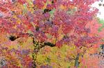 トウカエデ:庭代台公園;クリックすると大きな写真になります