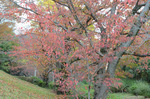桜の紅葉:原山台公園;クリックすると大きな写真になります