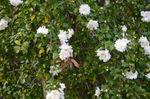 山茶花:桃山台;クリックすると大きな写真になります