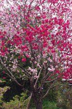 同じ幹の赤と白の桜?:檜尾;クリックすると大きな写真になります