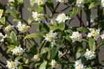 和田川アドプトリバーの沈丁花;クリックすると大きな写真になります