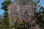 美木多のお屋敷のしだれ梅;クリックすると大きな写真になります