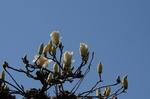 鴨谷台のお宅の木蓮;クリックすると大きな写真になります
